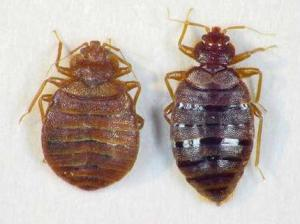 https://trackmajumundur.files.wordpress.com/2010/11/bed-bugs.jpg?w=300